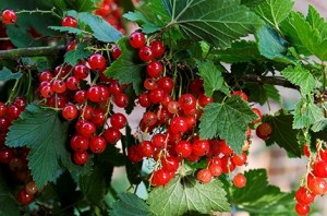 ribes-rosso (1)